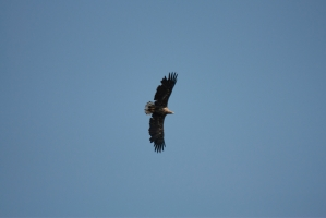 Havsörn [White-tailed Eagle]