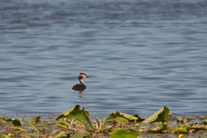 Skäggdopping [Great Crested Grebe]