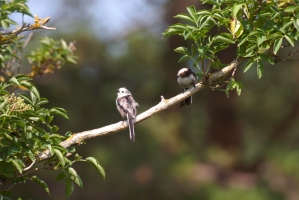 Stjärtmes [Long-tailed Tit]