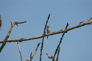 Törnskata [Red-backed Shrike]