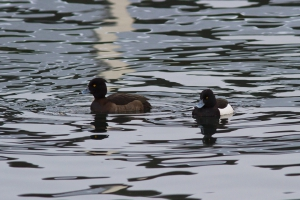 Vigg [Tufted Duck]