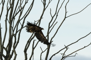 Havsörn. White-tailed Eagle