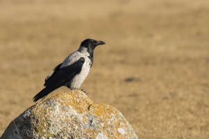 Kråka. Hooded Crow