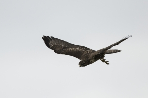 Ormvråk. Common Buzzard