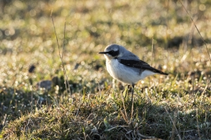 Stenskvätta. Northern Wheatear