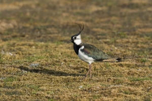 Tofsvipa. Northern Lapwing