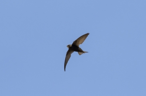 Tornseglare. Common Swift